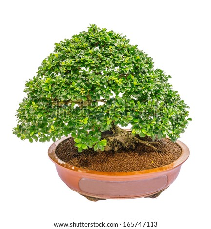 indonesian cosmetic bark tree as bonsai, isolated on white background - stock photo