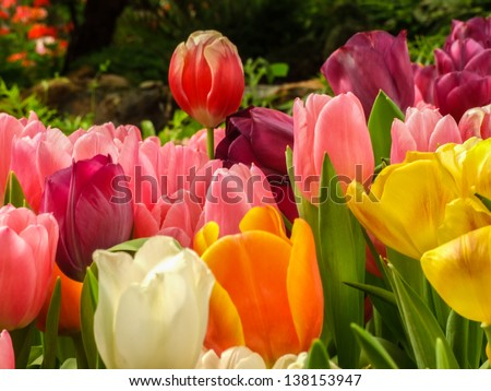 Indoor garden exhibition show colorful of tulips flower - stock photo
