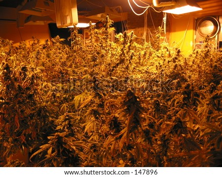 Indoor Hydroponic Medical Cannabis - stock photo
