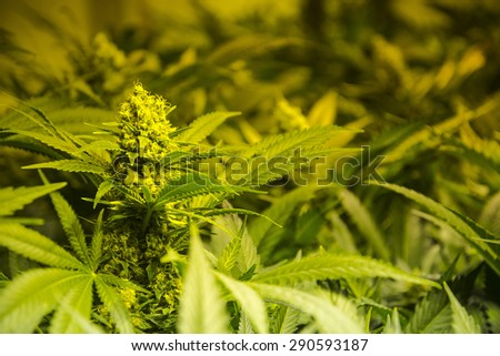 Indoor marijuana cultivation. Flowering stage - stock photo