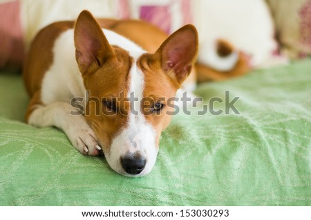 Indoor portrait of basenji dog lying at the bed and waiting for the master. - stock photo
