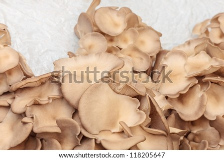 Industrial growth of brown oyster mushrooms on white plastic - stock photo