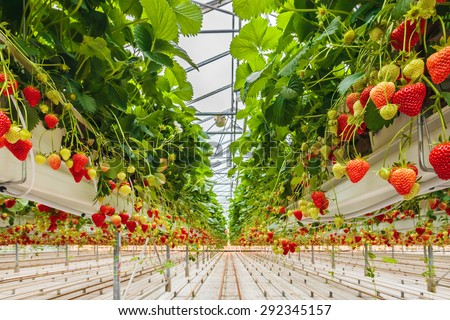 Industrial growth of strawberries in a Dutch greenhouse - stock photo
