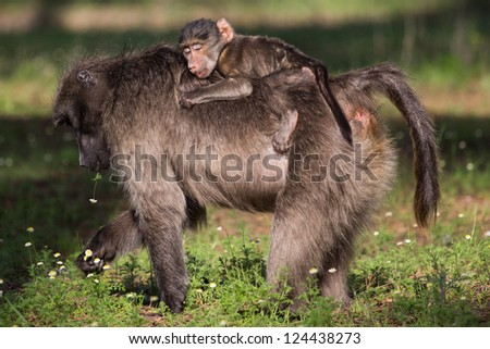 Infant chacma baboon riding on mom's back and sleeping - stock photo