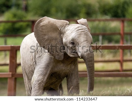 Infant elephant calf in a local wildlife park. - stock photo