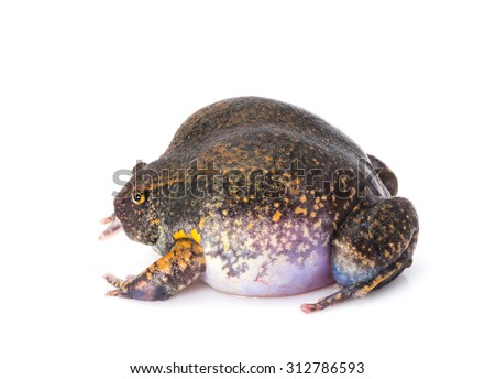 Inflated chubby frog - stock photo