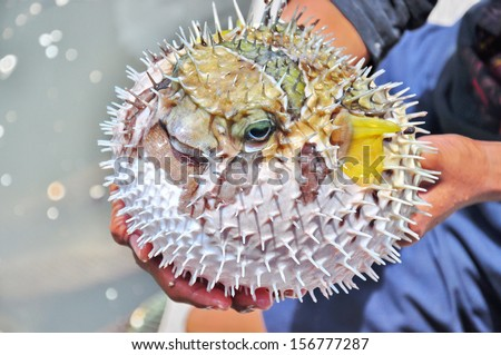 Inflated puffer fish - stock photo