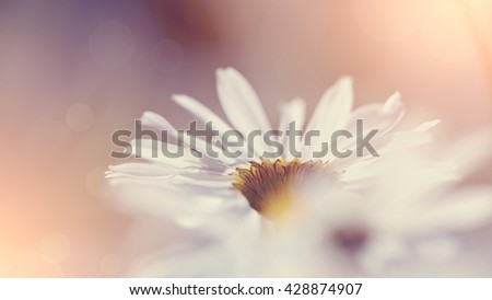 Inflorescence of a wild field flower of a camomile. - stock photo
