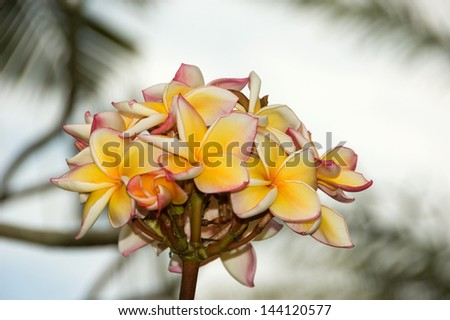 Inflorescence of frangipani at the background of sky and palm leaves - stock photo