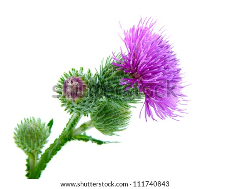Inflorescence of Greater Burdock. on white background - stock photo