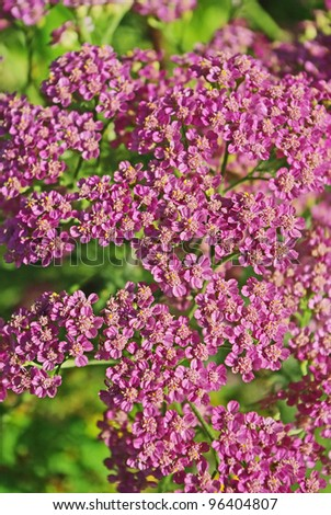 Inflorescences of pink milfoil flowers as a background - stock photo