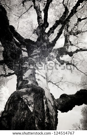 Infrared photo of a birch tree at  Lone Fir Cemetery in Portland, Oregon. Taken with a Canon 10D that was converted into a black and white infrared camera. - stock photo