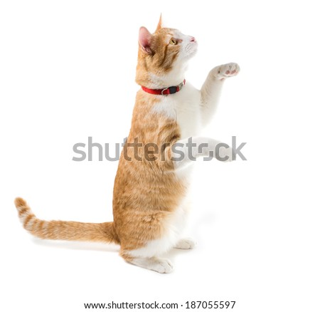 inger cat in the red collar sits on his hind legs, front air - stock photo