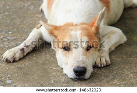 Injured, disabled dog lying on ground. - stock photo