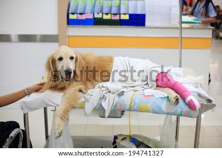 Injured Golden retriever with pink bandage on wheelchair after Veterinary Surgery in hospital - stock photo