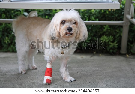 Injured Shih Tzu with wrapped red bandage on front leg standing - stock photo