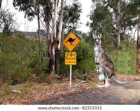 Injured wildlife sign and kangaroo - stock photo