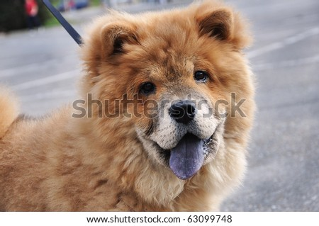 Innocent chow chow posing - stock photo