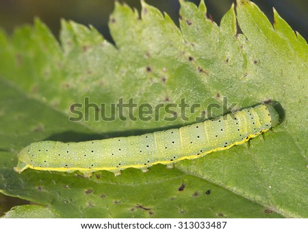 Insect caterpillar tomato moth Caterpillars of the leaf blade vegetable crops( tomatoes, cabbage), leaves of trees and shrubs (raspberry, currant, Apple). - stock photo