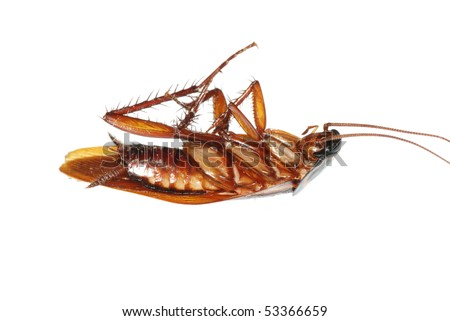 insect dead cockroach bug isolated on white - stock photo