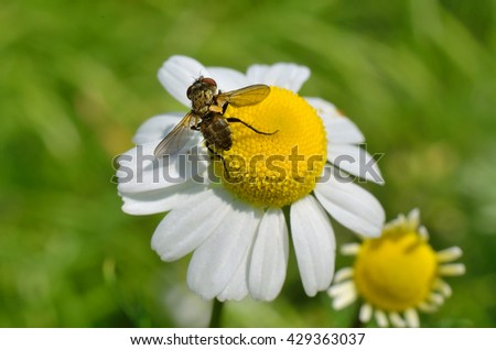 Insect sitting on a beautiful daisy flower. Close-up photo of the flower of the field. - stock photo