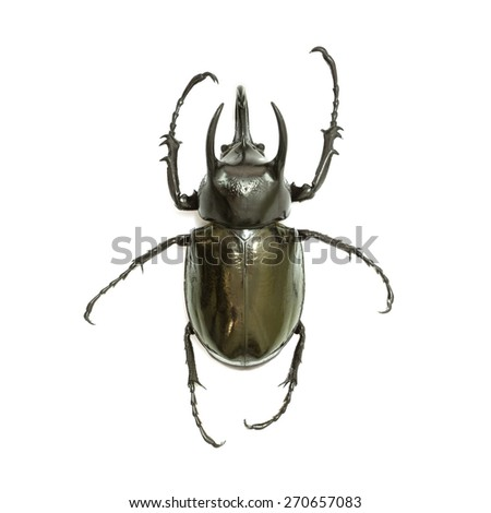 Insects, beetles,Giant rhinoceros beetle (Chalcosoma caucasus) Isolated on white background - stock photo