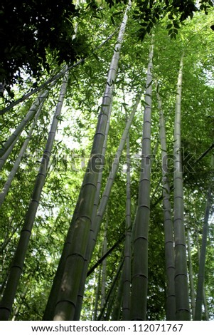 Inside a bright green bamboo forest in Japan - stock photo