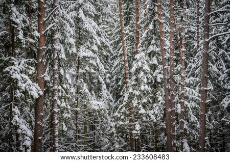 inside of the winter forest - stock photo