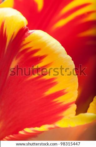 Inside the Tulip - stock photo