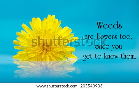 Inspirational quote on life by A. A. Milne with a beautiful yellow dandelion bloom floating on water. - stock photo