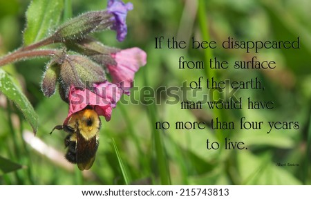 Inspirational quote on the importance of bees by Albert Einstein, with a closeup of a honey bee collecting pollen from a lungwort flower in the Spring. - stock photo