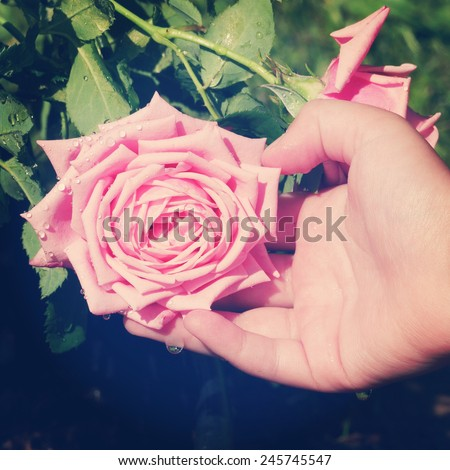instagram of child's hand supporting large pink rose - stock photo