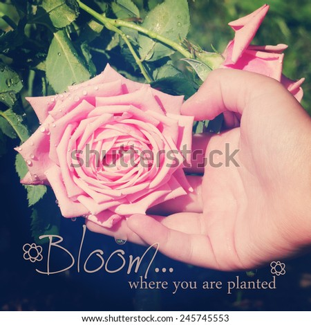 instagram of child's hand supporting large pink rose with quote - stock photo
