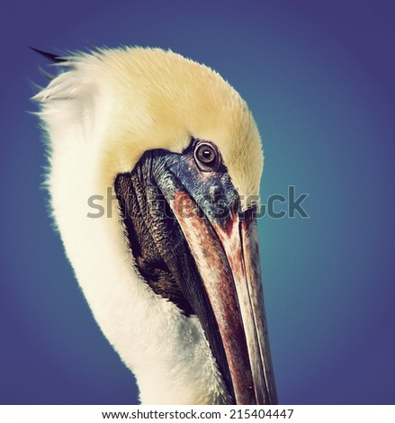 Instagram-type filtered portrait of a juvenile brown pelican (Pelecanus occidentalis) with blue background. - stock photo