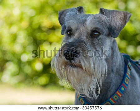 Intense miniature schnauzer dog - stock photo