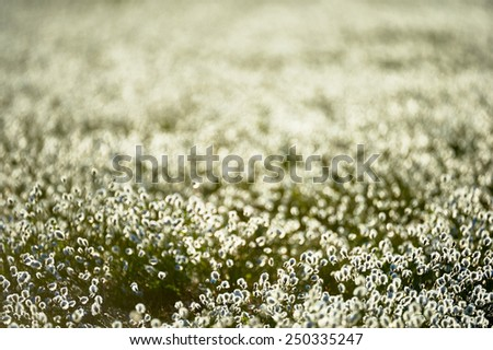 Intentionally blurred field of cotton  grass flowers in back light - stock photo