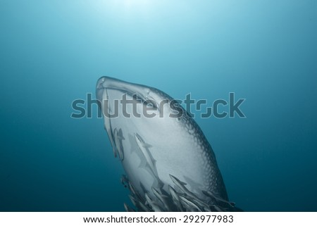 Interaction with a curious juvenile whale shark swimming near a reef in the Arabian sea off the coast of Oman in the Straits of Hormuz with remora attached in clear blue waters - stock photo