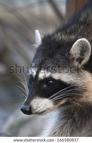 Interest in the eyes of a cute and cuddly raccoon, that can be very dangerous beast. Side face portrait of the excellent representative of the wildlife. Funny expression on the animal face. - stock photo