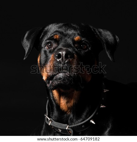 interest rottweiler portrait - stock photo