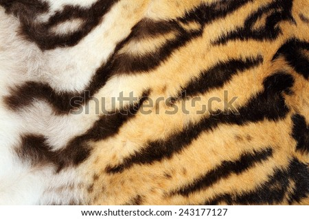 interesting tiger fur detail, real texture on animal - stock photo