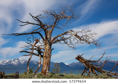 Interesting tree broken by age and time with view of beautiful Lake Tahoe and Mt. Tallac behind. - stock photo
