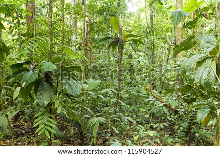 Interior of tropical rainforest with aroid climbers in foreground - stock photo
