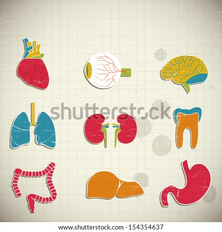 Internal organs - stock photo