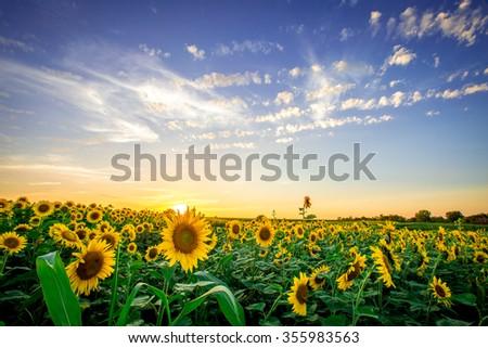 Iowa sunflower field at sunset - stock photo