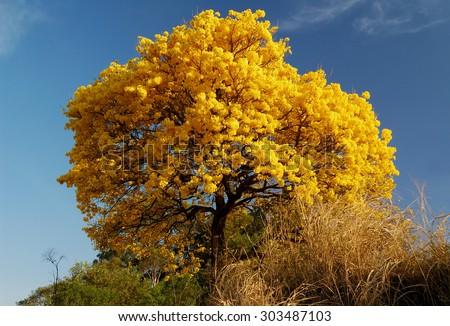 ipe yellow - stock photo