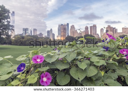 Ipomoea nil is a species of morning glory  on fence in Central Park - stock photo