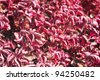 Iresine herbstii is a species of flowering plant in the amaranth family, Amaranthaceae. - stock photo