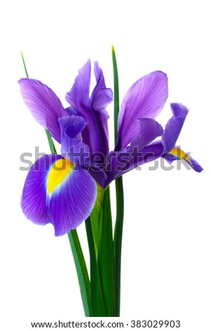 iris bouquet of fresh flowers isolated on white background - stock photo