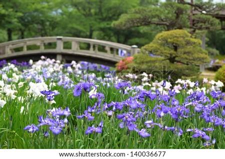 Ensata Gardens Iris Images
