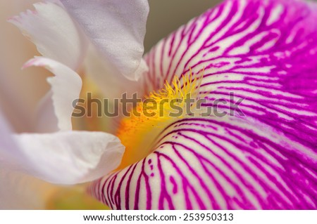 Iris Flower Macro - stock photo
